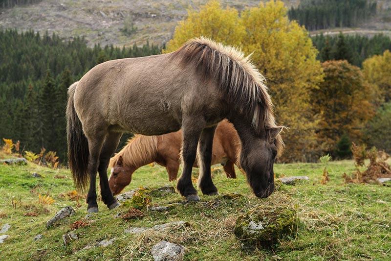 Hester i høstskog